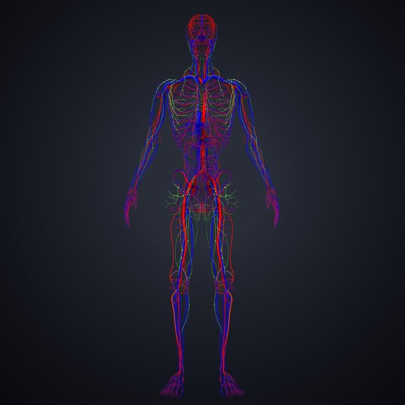 arteries veins lymph 3D model
