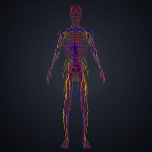 3D model arteries veins nerves