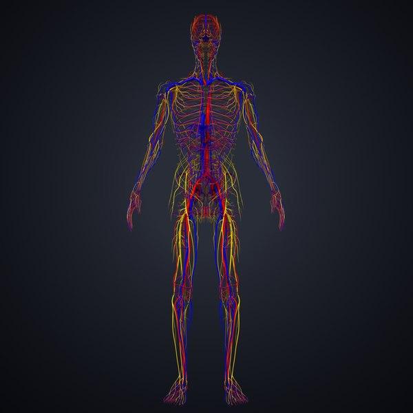 3D model arteries veins nerves