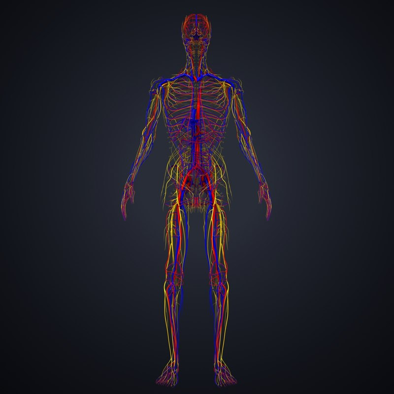 3D model arteries veins nerves - TurboSquid 1218009