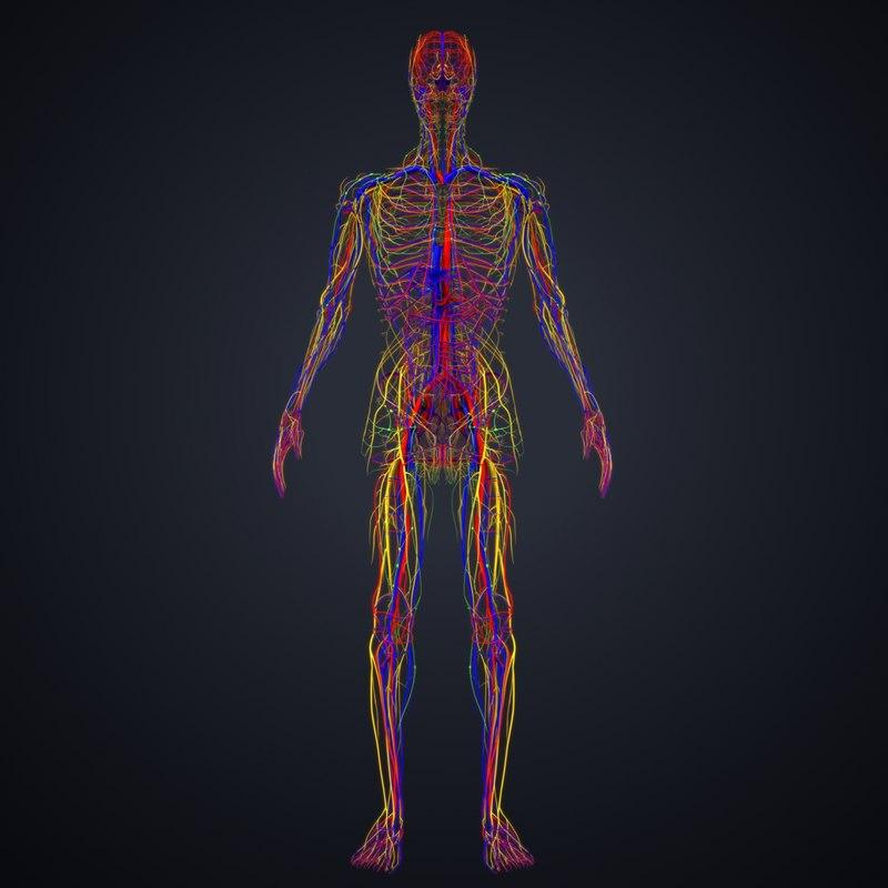 3D arteries veins nerves lymph
