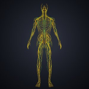 3D nerves lymph model