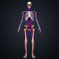 skeleton arteries veins 3D model