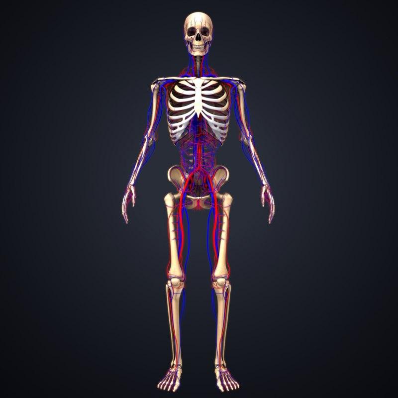 skeleton arteries veins 3D model