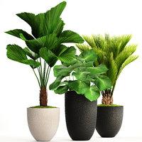 Palms in pots