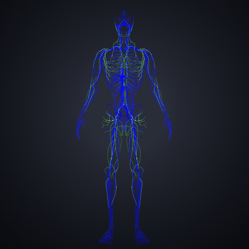 veins lymph 3D model