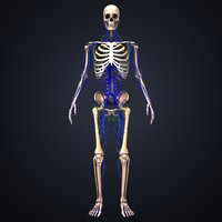 3D skeleton veins lymph model