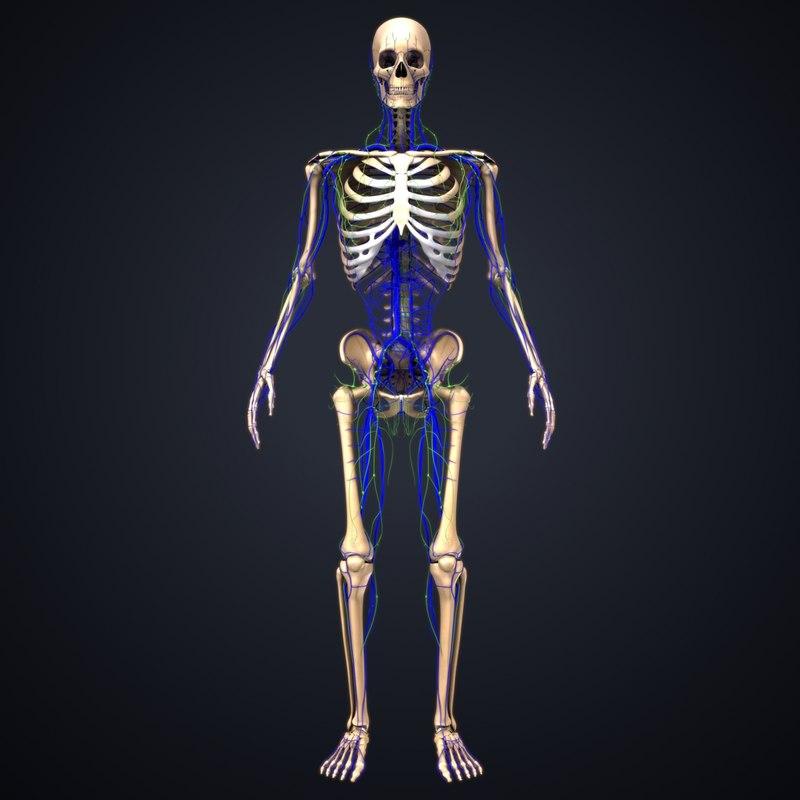 3D skeleton veins lymph model