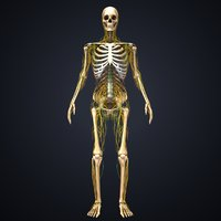skeleton nerves lymph 3D model