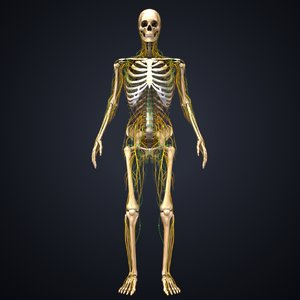 skeleton nerves lymph 3D model