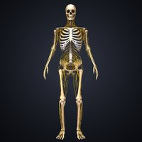 Skeleton with Nerves