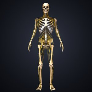 skeleton nerves model