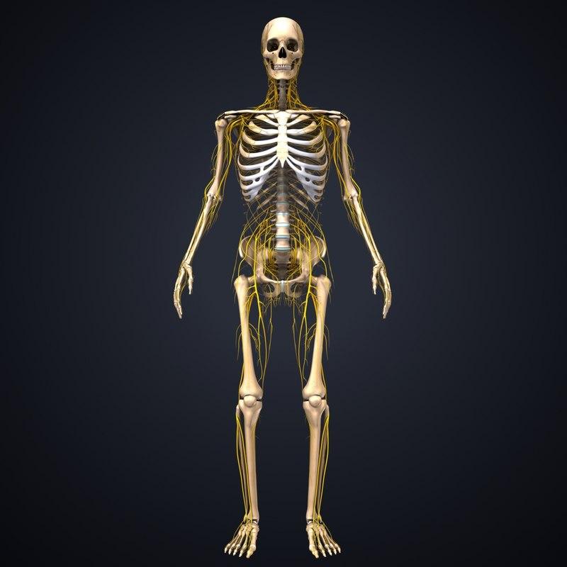 skeleton nerves model