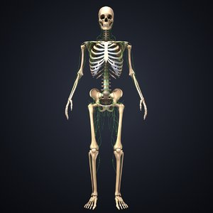 3D skeleton lymph