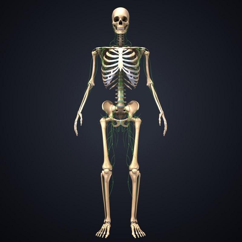 3D skeleton lymph