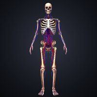 3D model skeleton arteries veins nerves