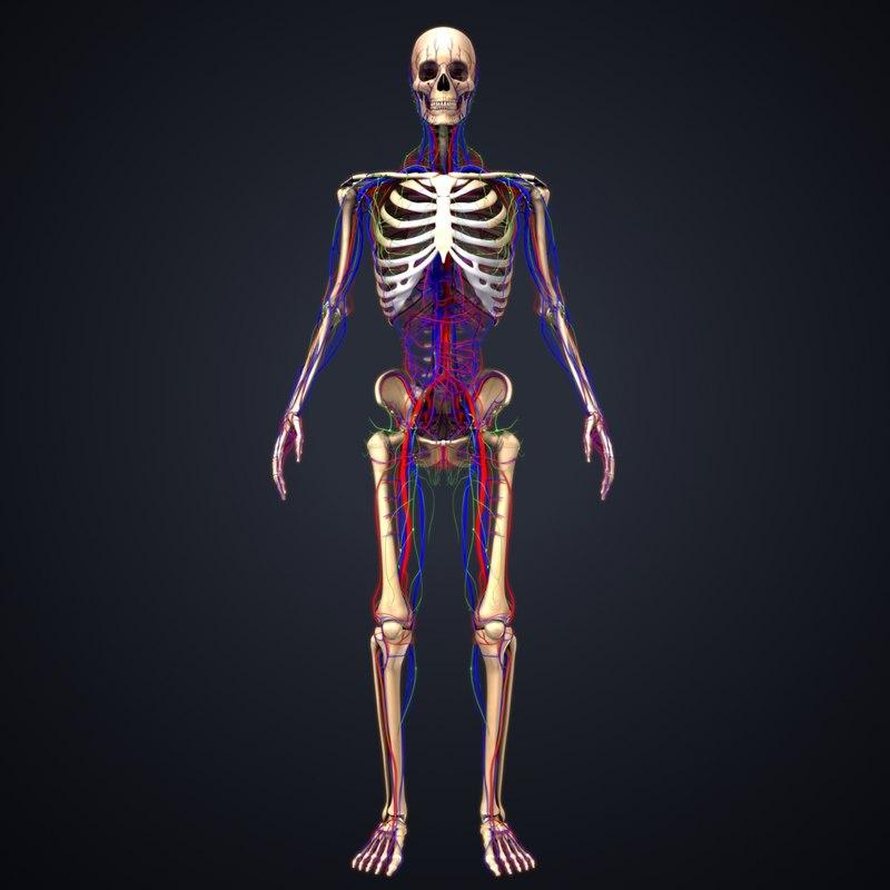 3D model skeleton arteries veins nerves