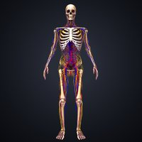 skeleton arteries veins nerves 3D model