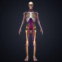 skeleton arteries veins nerves 3D model