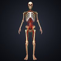 skeleton arteries lymph nodes 3D