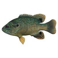 3D green sunfish fish aquarium