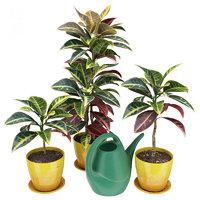 Codiaeum (Croton) plants