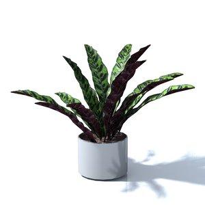 3D model calathea lancifolia
