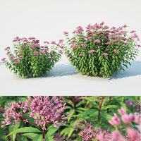 Eupatorium purpureum 2 sizes