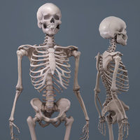 realistic human skeleton 3D model