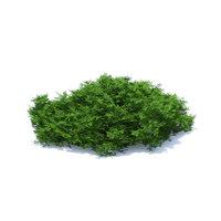 short thuja shrub 3D model