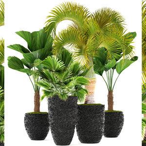 palms licuala hyophorbe 3D model