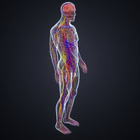 brain arteries veins nerves 3D