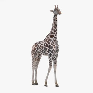 rothschild s giraffe rigged 3D model