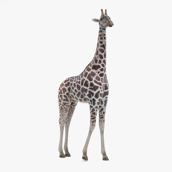 rothschild s giraffe rigged 3D model