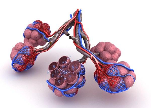 alveoli lungs oxygen model