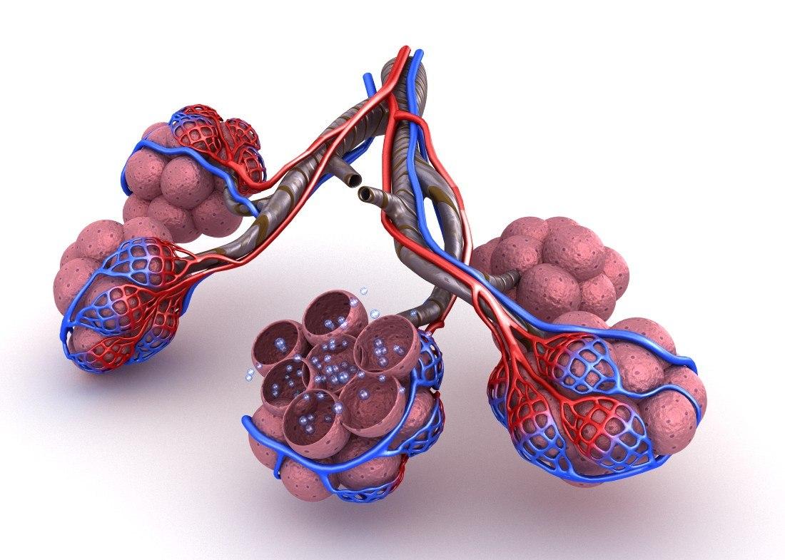 Alveoli Lungs Oxygen Model Turbosquid 1221203