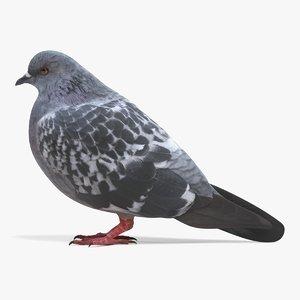 3D pigeon columba livia