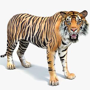 sumatran tiger rigged cat 3D model