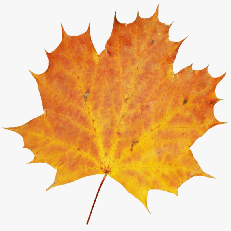 3D autumn leaf model