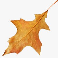 Autumn Leaf V7
