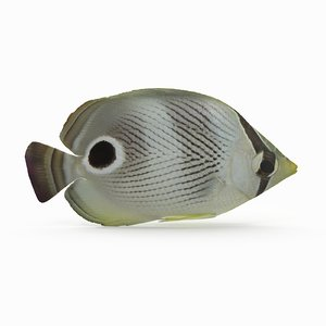 foureye butterflyfish model