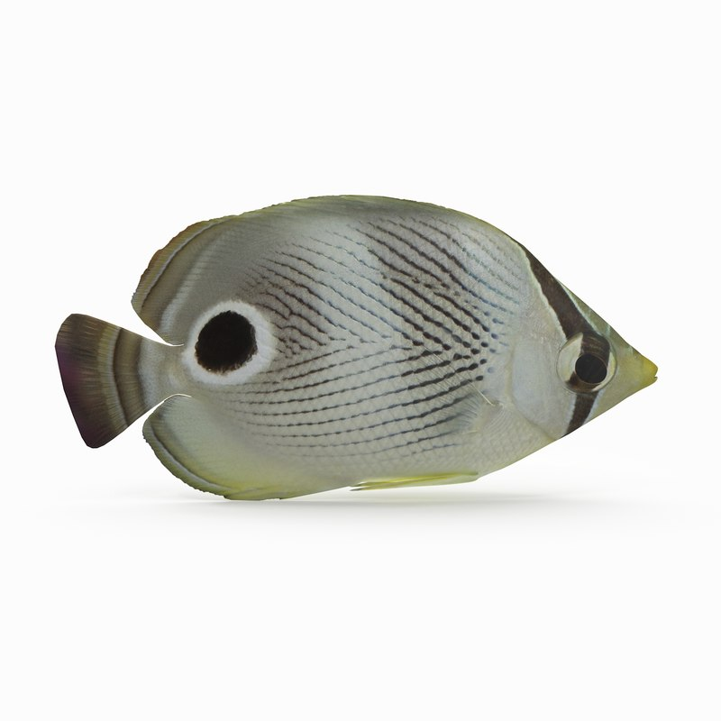 foureye butterflyfish model