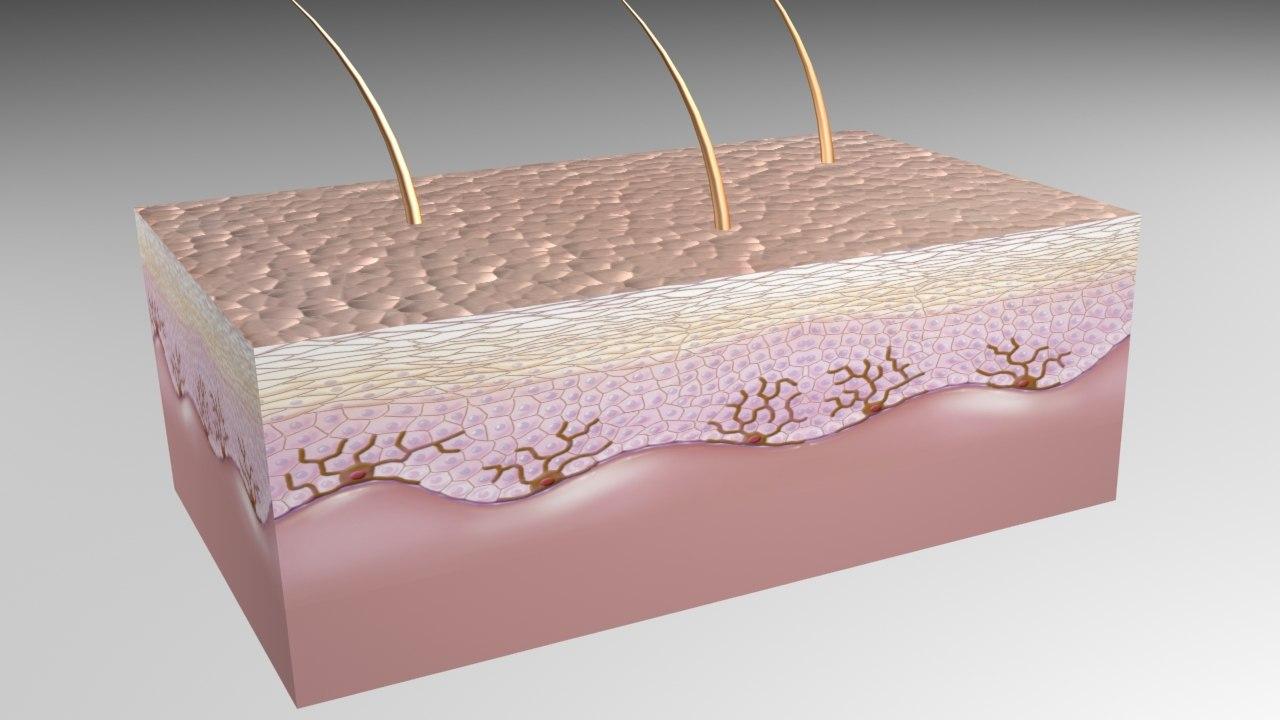 3D epidermis layers skin model