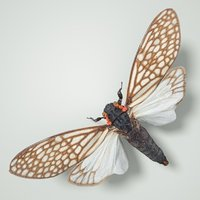 cicadinae ambragaena palatinus china 3D model