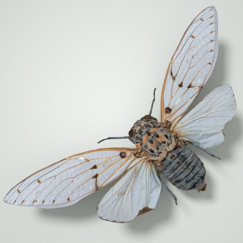 cicadinae cicadidae true 3D model