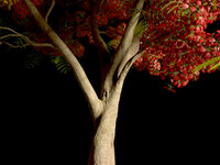 Flamboyany Tree