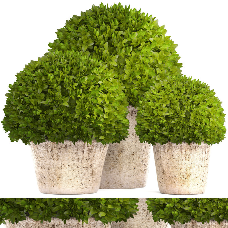 3D topiary bush buxus model