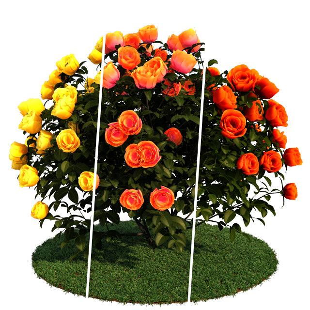 roses bush model