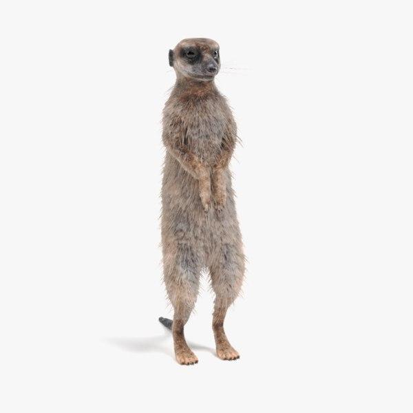 3D meerkat suricata suricatta