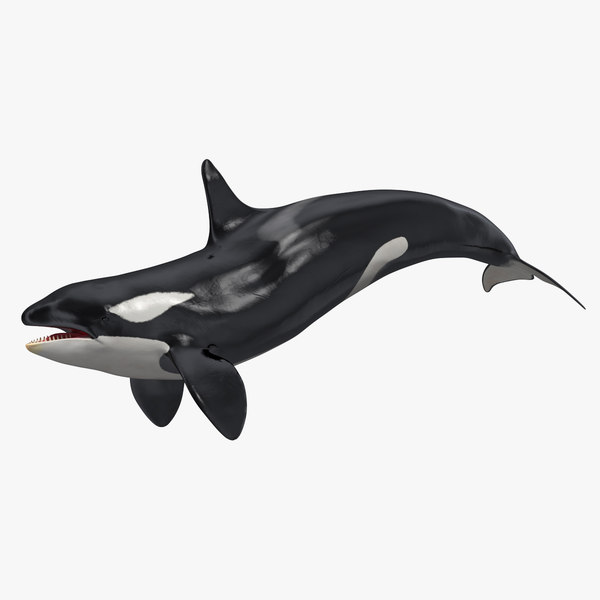 3D killer whale swimming pose